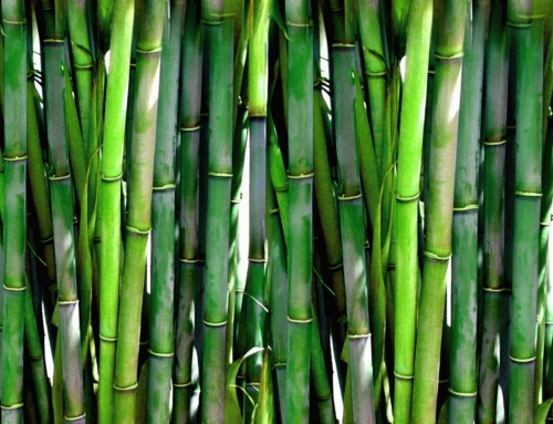 A Miracle Of Life: The Bamboo Story